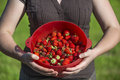 Organic strawberries freshly harvesting and holding by attractiv a standing young attractive women into hands a colander of put on Royalty Free Stock Photos