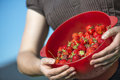 Organic strawberries freshly harvesting and holding by attractiv a young attractive women into a colander in the vegetable garden Stock Image