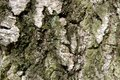 Organic texture consisting of the bark of a very old birch Royalty Free Stock Photo