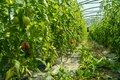 Organic tomato crops in a greenhouse Royalty Free Stock Photo