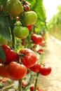 Organic tomatoes on a branch agriculture Stock Image