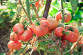 Organic tomatoes fresh in garden Stock Images