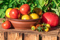 Organic tomatoes in garden, image taken in sunny summer day Royalty Free Stock Photo