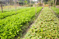 Organic vegetable farm a plot of vegatables planted on an Royalty Free Stock Photos