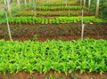 Organic vegetable farming Royalty Free Stock Photo