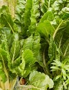 Organic vegetable garden green spinach silverbeet Stock Photos