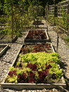 Organic vegetable garden: raised beds lettuce Royalty Free Stock Photo