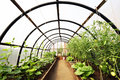Organic vegetables in greenhouse interior Royalty Free Stock Photo