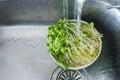 Organic veggie washing sun flower sprouts Stock Photo