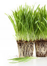 Organic wheat grass on white Stock Photography