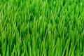Organic Wheatgrass Stock Photo