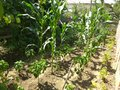 Organically cultivated growing corn and vegetables