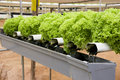 Organically Farmed Green Coral Lettuce Royalty Free Stock Image