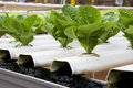 Organically Farmed Romaine Lettuce Stock Photos