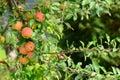 Organically grown apples