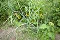Organically Grown Garlic