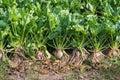 Organically grown sugar beet plants from close