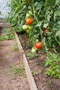 Organically grown tomatoes Stock Image