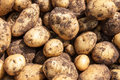 Organics potatoes in a garden Royalty Free Stock Photos