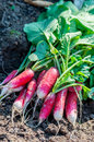 Organics radishes from garden beautifuls Royalty Free Stock Images