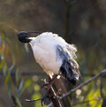 Oriental black white black headed ibis Royalty Free Stock Images