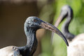 Oriental black White (Black-headed) Ibis Royalty Free Stock Photo