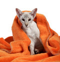Oriental Blue-point siamese cat Stock Photography
