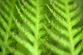 Oriental chain fern close up of Stock Photos