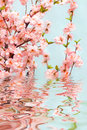 Oriental cherry Stock Photos