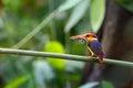 Oriental Dwarf Kingfisher