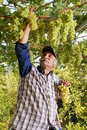 Oriental farmer vintner is harvesting white grape Royalty Free Stock Image