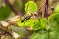 Oriental fruit fly Royalty Free Stock Photo