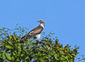 Oriental honey buzzard bird of prey sitting on tree top in an indian forest Royalty Free Stock Photo