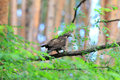Oriental honey buzzard female in japan Royalty Free Stock Photography