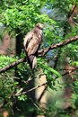 Oriental honey buzzard female in japan Stock Image