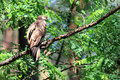 Oriental honey buzzard female in japan Royalty Free Stock Image