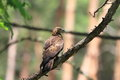 Oriental honey buzzard female in japan Royalty Free Stock Photos