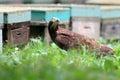 Oriental honey buzzard female in japan Stock Photo