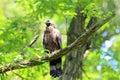 Oriental honey buzzard male in japan Stock Images
