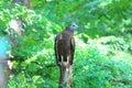 Oriental honey buzzard male in japan Stock Image