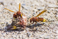 The oriental hornet vespa orientalis is a which looks very similar to european it should not be confused with Royalty Free Stock Photography
