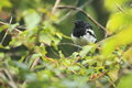 Oriental magpie-robin Royalty Free Stock Photo