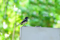 Oriental magpie-robin or Copsychus saularis, small passerine bird Royalty Free Stock Photo