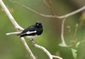 Oriental Magpie-Robin in Jhirna Forest Royalty Free Stock Photo