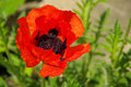 Oriental poppy Royalty Free Stock Photo
