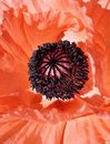 Oriental poppy flower detail stamens and pistil hot orange color almost red Royalty Free Stock Photo