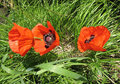 Oriental poppy (Papaver orientale) Stock Photo