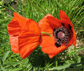Oriental poppy (Papaver orientale) Stock Photography
