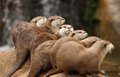 Oriental Short-Clawed Otters Stock Photography