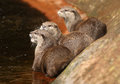 Oriental Short-Clawed Otters Royalty Free Stock Photos